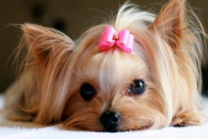 Yorkie with pink hair bow